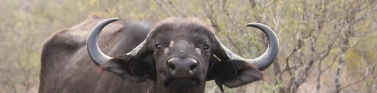 buffel-des-15