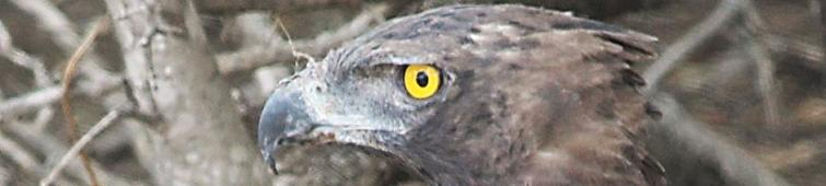 geel-oog-1