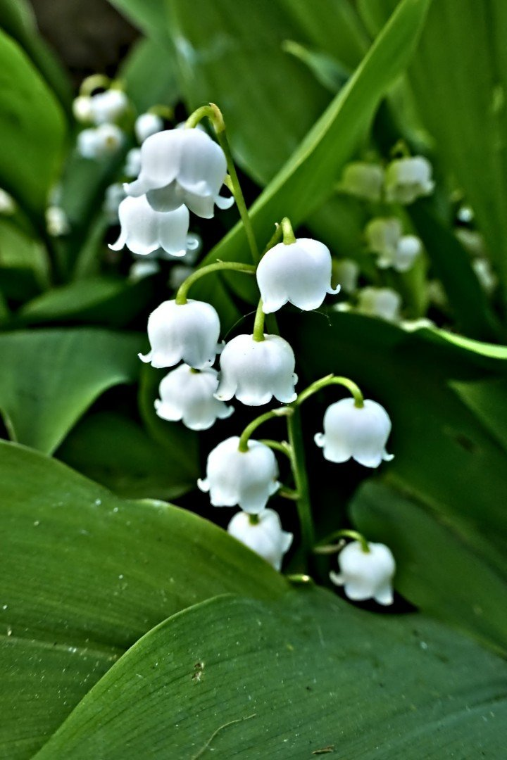 Lily of the valley flowers, white bells against dark green leaves.