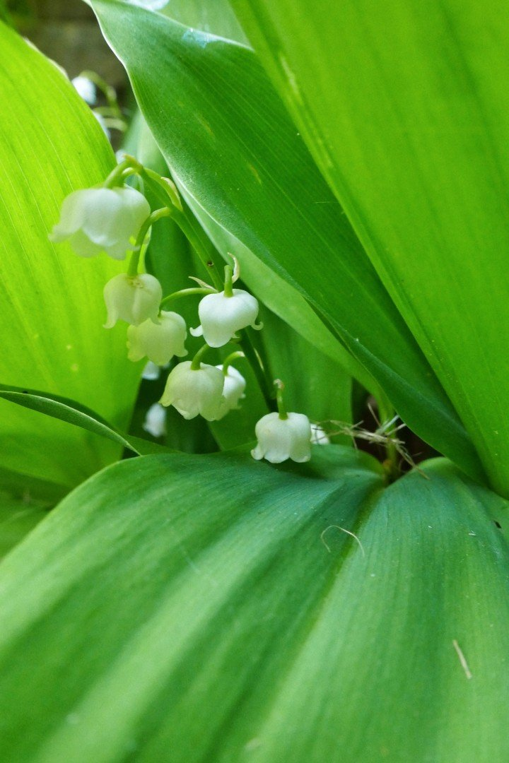 Lily of the valley flowers. Pretty white flowers hidden in their leaves.